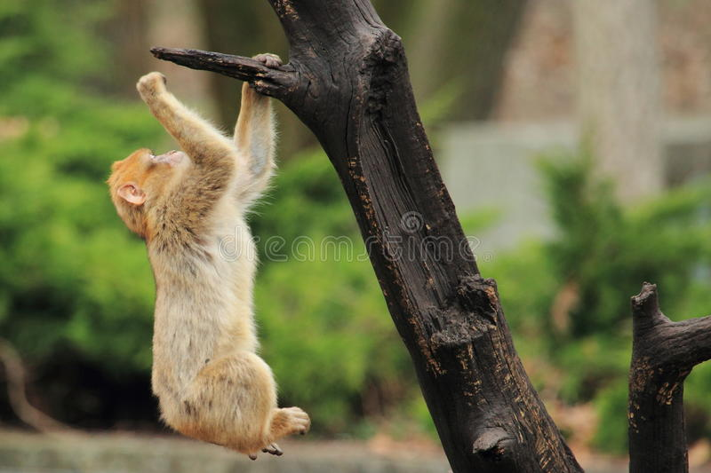 Barbary macaque. The barbary macaque cub on the tree royalty free stock photo