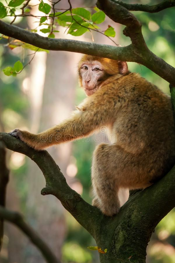 Barbary macaque in the forest. An image of a Barbary macaque in the forest stock photo