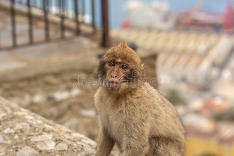 Barbary Macaque Gibraltar royaltyfri fotografi