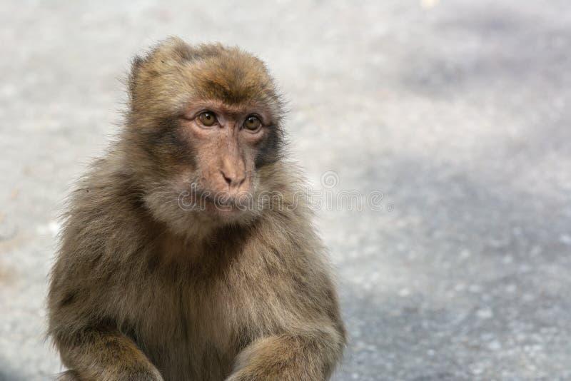 Barbary Macaque Gibraltar fotografering för bildbyråer