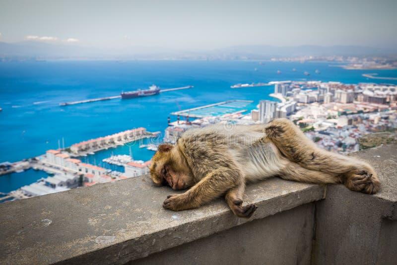 Barbary macaque i Gibraltar, UK arkivbilder