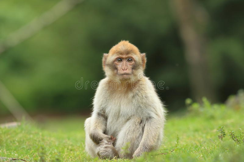 Barbary macaque. The juvenile of barbary macaque sitting in the grass royalty free stock photos