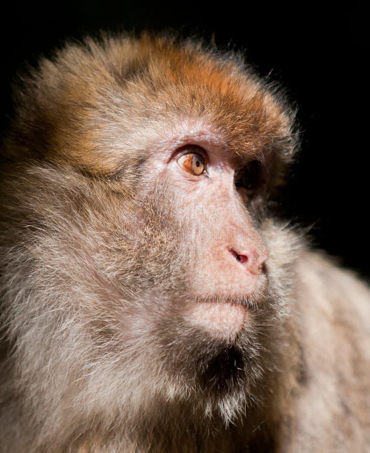 Barbary Macaque monkey royalty free stock photo
