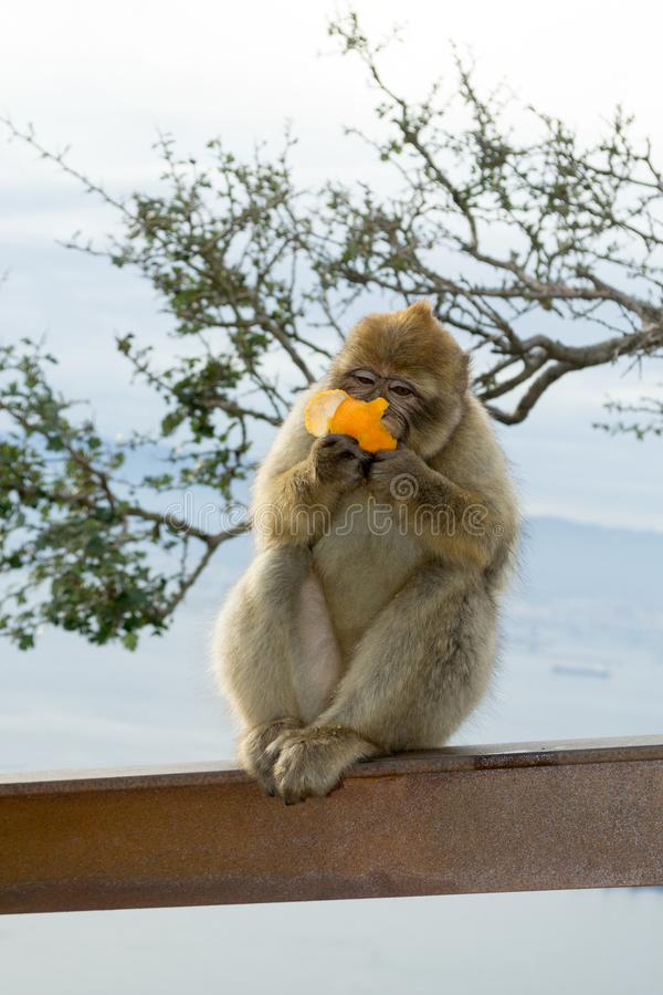 Barbary macaque monkey in Gibraltar royalty free stock photos