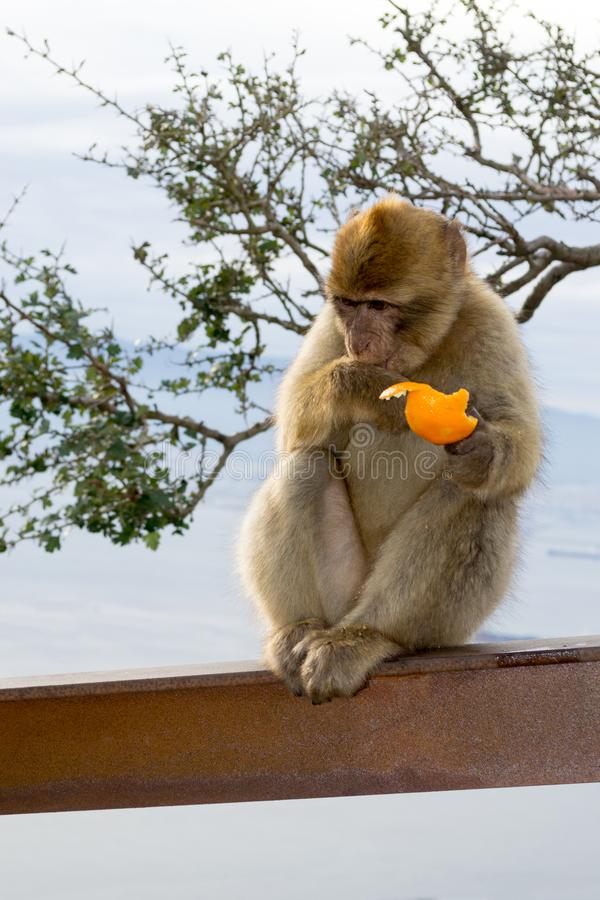 Barbary macaque monkey in Gibraltar. Eating an orange. Gibraltar apes are the only wild living apes in Europe stock photos