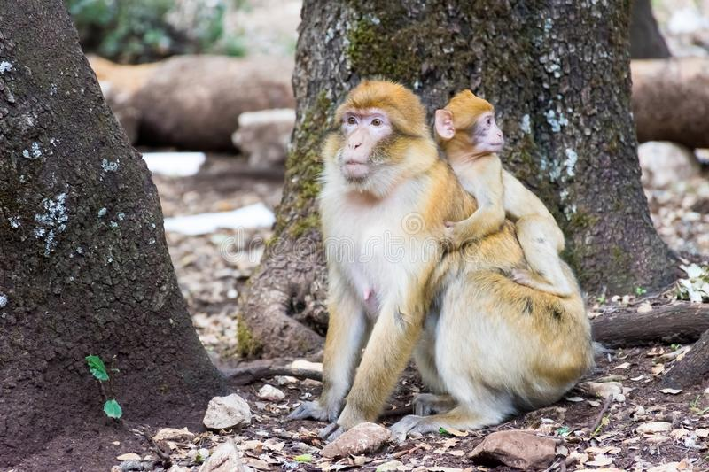 Barbary Macaque Monkey sitting on ground in the cedar forest, Azrou, Morocco stock image