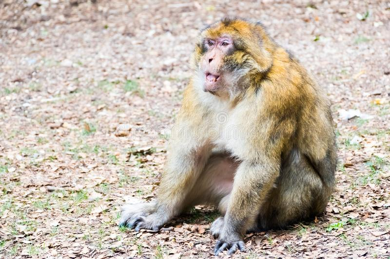 Barbary Macaque Monkey sitting on ground in the cedar forest, Azrou, Morocco. In Africa stock images