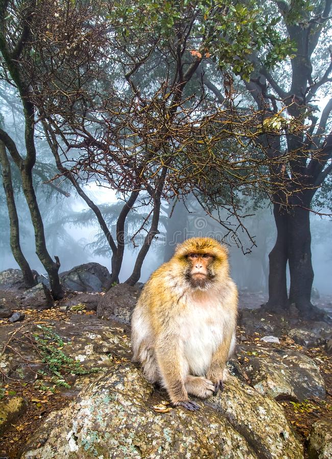 Barbary Macaque Monkey sitting on ground in the great Atlas forests of Morocco, Africa.  stock image