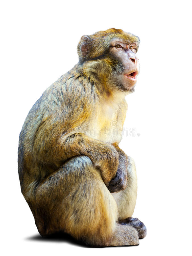 Barbary macaque over white background royalty free stock photo