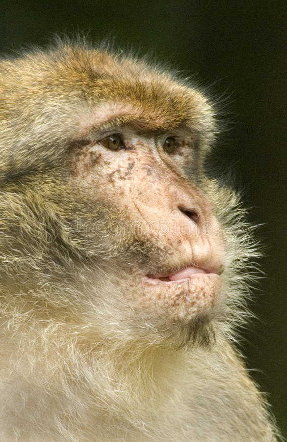 Download Barbary Macaque Portrait stock image. Image of mammals - 10577817