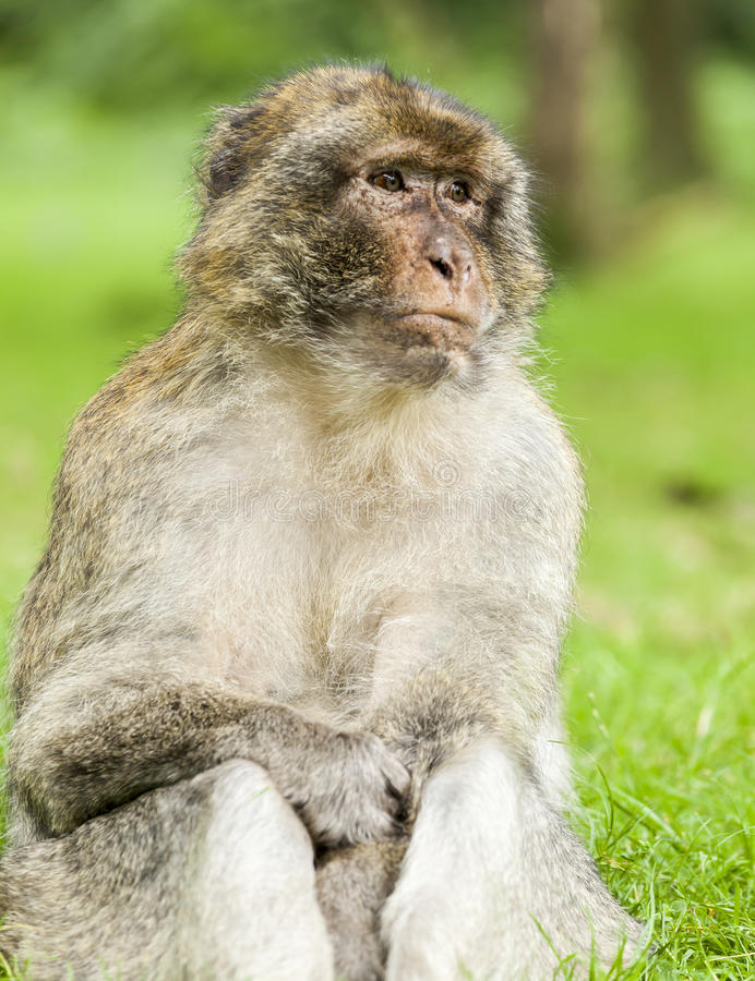Barbary Macaque sitting looking off into the distance. Barbary Macaque sitting down looking off into the distance in a thoughtful pose stock images