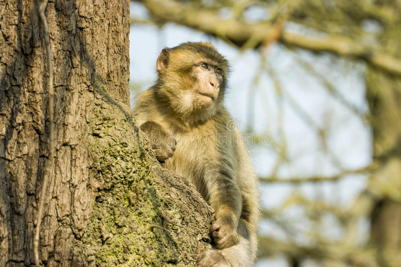 Barbary Macaque sitting in a tree at Monkey world zoo. In Trentham, Stoke On Trent, Staffordshire, England, United Kingdom stock photo