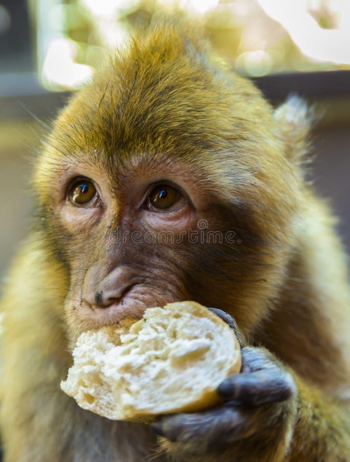 Barbary macaque som äter bröd arkivfoto