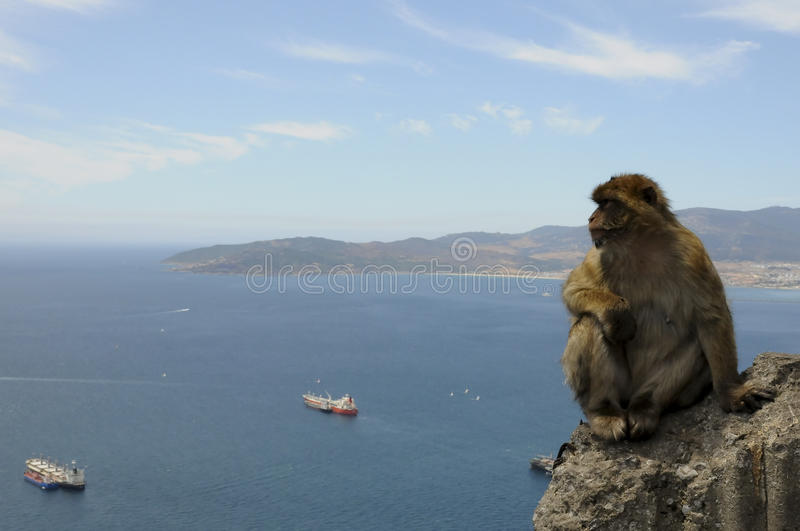 Download Barbary Macaque thinking stock photo. Image of gibraltar - 11852460