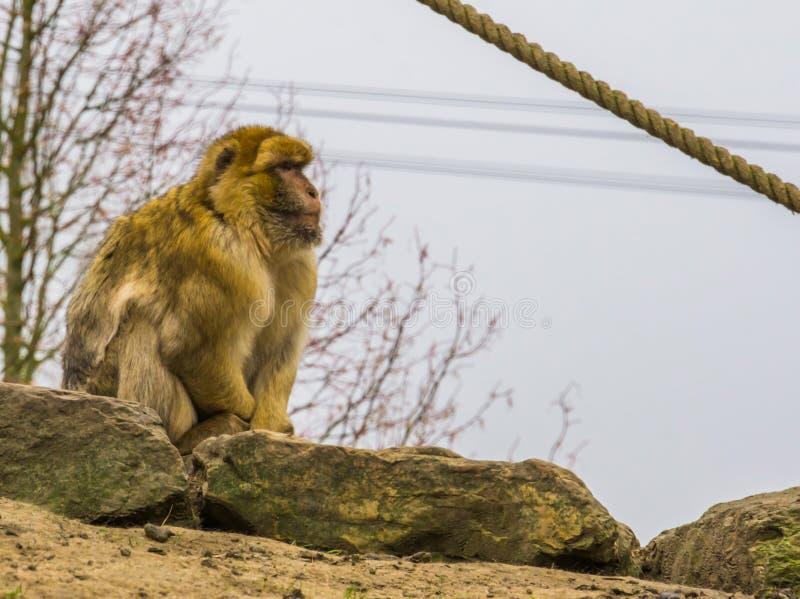 Barbary macaque, utsatt för fara apa från bergen av Marocko, apastående arkivfoton