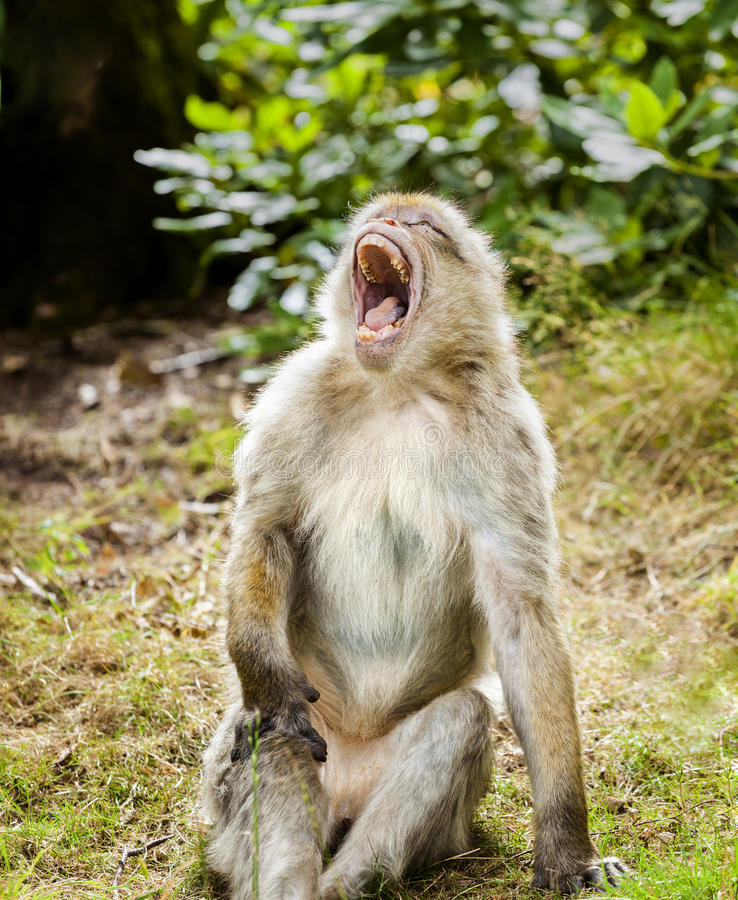 Barbary Macaque Yawning. With head held high royalty free stock photo