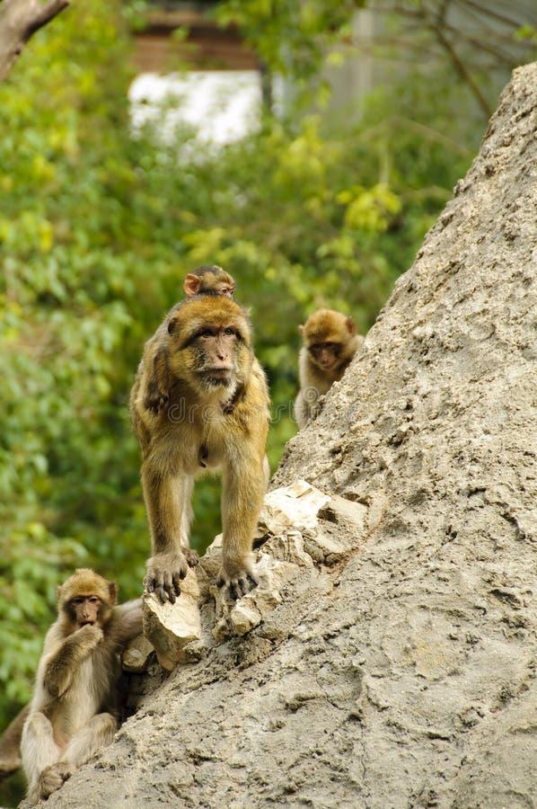 Barbary macaques royalty free stock image