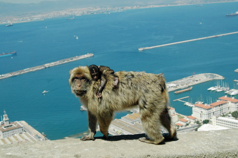 Barbary Macaques or Apes, Gibraltar royalty free stock photo