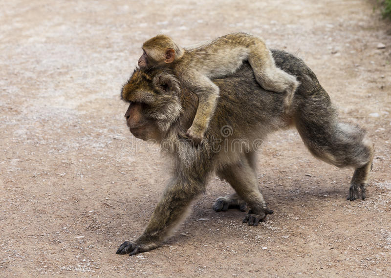 Barbary Macaques. Endangered species of monkey that live in the mountains of Morocco and Algeria. images of single macaques, couples, family groups, babies stock photography