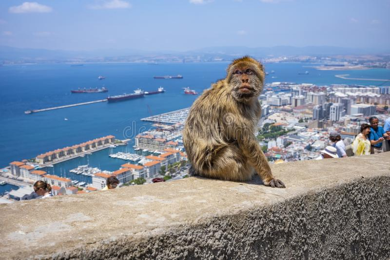 Barbary macaques in Gibraltar stock photo
