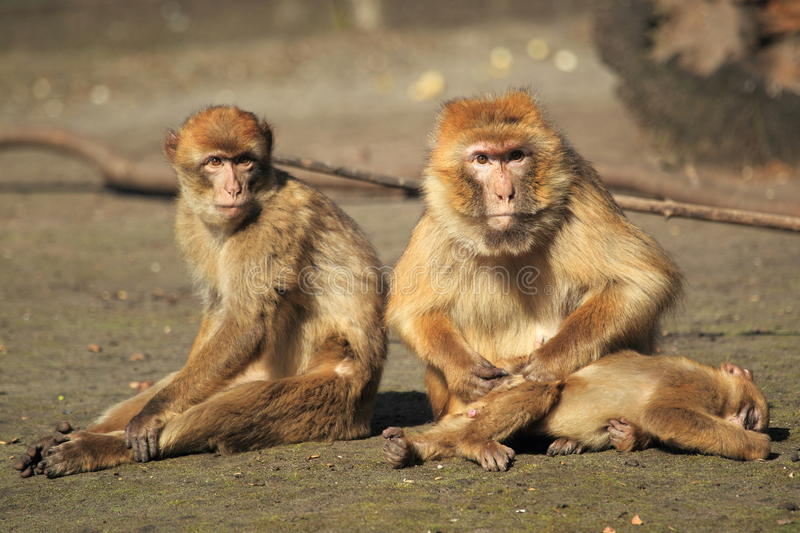 Barbary macaques trio. The trio of barbary macaques royalty free stock images