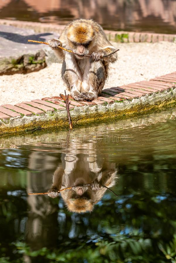 Barbary makak je wodą zdjęcie royalty free