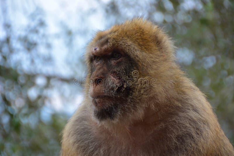 Barbary makaka małpa zdjęcie royalty free