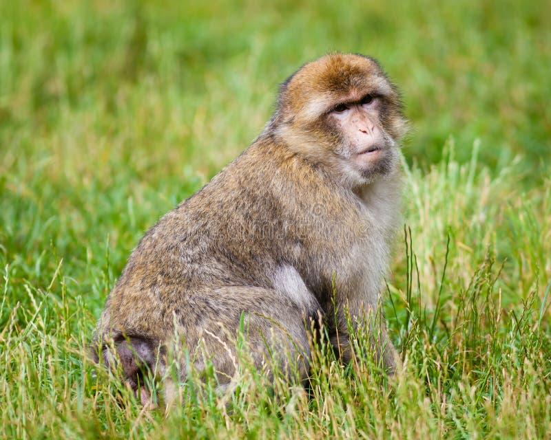 Barbary-Makaken-Affe lizenzfreie stockbilder