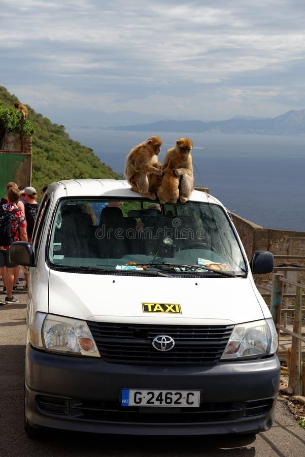 Barbary-Makaken herein, Gibraltar-britische Überseegebiete lizenzfreie stockfotografie