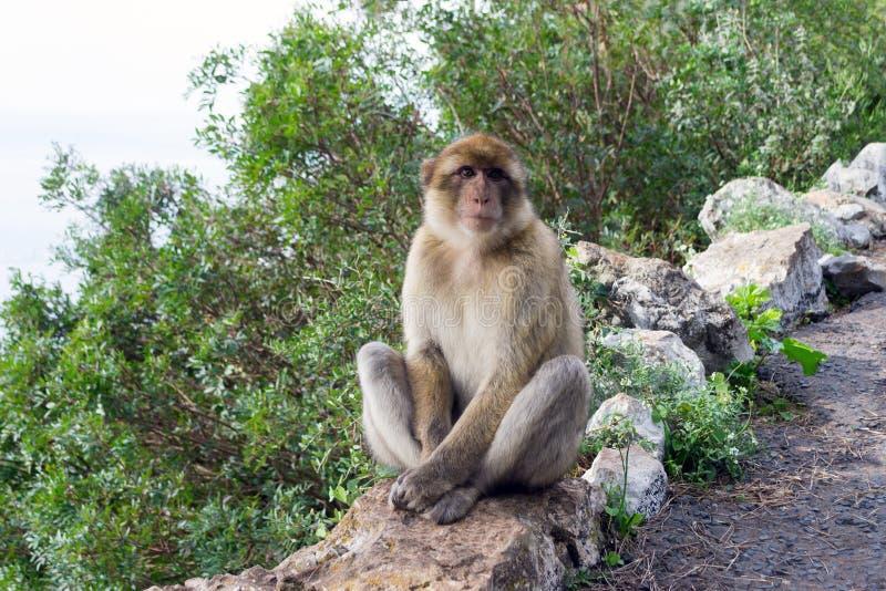Barbary-Makakenaffe in Gibraltar lizenzfreies stockfoto