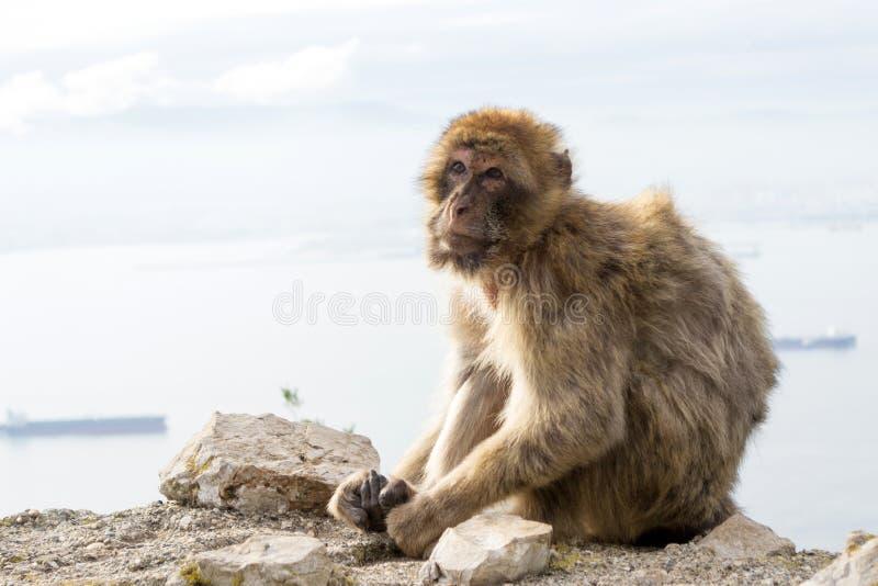 Barbary-Makakenaffe in Gibraltar lizenzfreie stockbilder