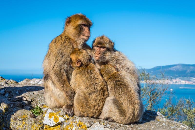 Barbary-Makakenfamilie lizenzfreie stockfotografie