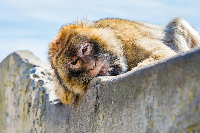 Barbary monkeys in Gibraltar. Monkey head of one of the monkeys from the the population of Barbary monkeys in Gibraltar stock photos