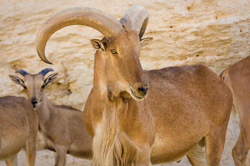 Barbary Sheep. Portrait, Ammotragus lervia royalty free stock photo
