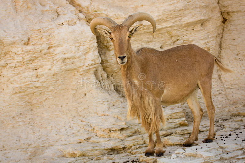 Barbary Sheep. Wild Barbary Sheep, Ammotragus lervia stock photo