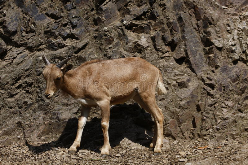 Barbary sheep. The Barbary Sheep, Ammotragus lervia, is a species of caprid (goat-antelope) native to rocky mountains in North Africa. Six subspecies have been stock photos