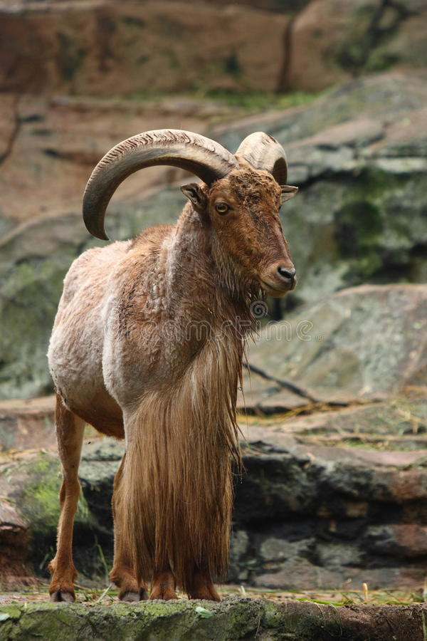 Barbary Sheep. A male barbary sheep standing on a rock royalty free stock image