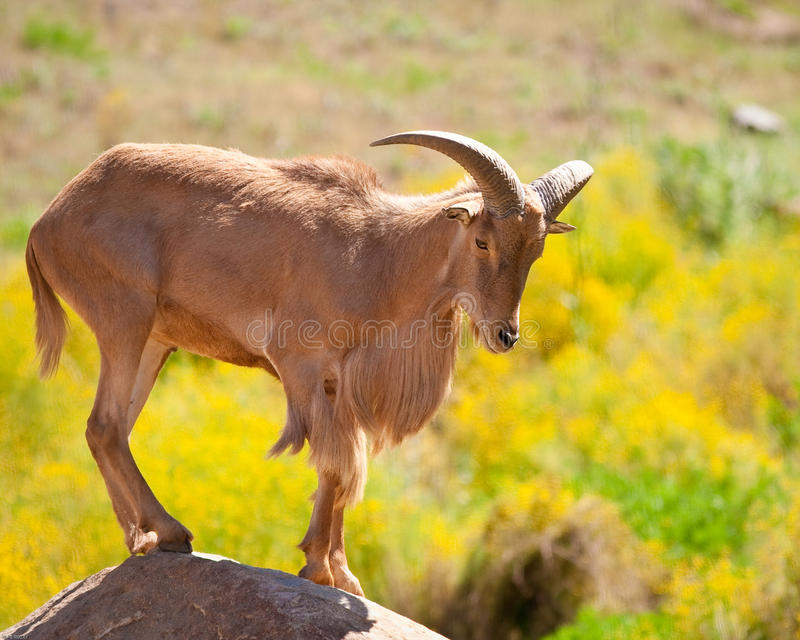 Barbary Sheep. Standing on a rock in captivity at a zoo stock photography