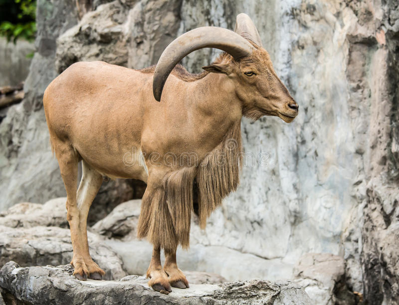 Barbary sheep. The Barbary Sheep (Ammotragus lervia stock photos