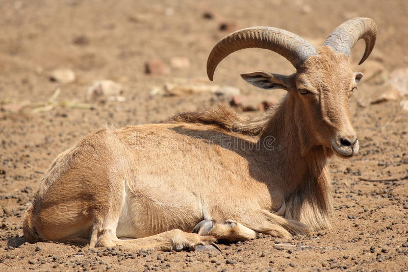 Download Barbary Sheep Royalty Free Stock Photography - Image: 27306897