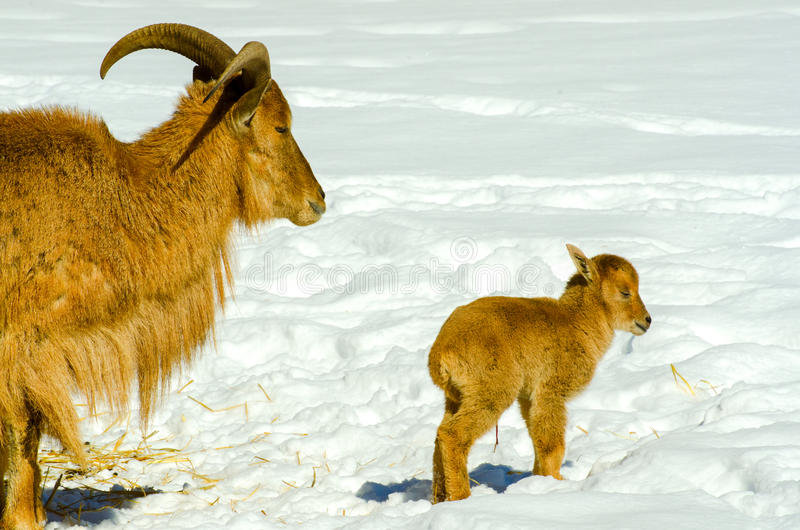 Barbary sheep. With newborn lamb stock photos