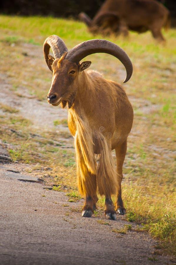 Barbary Sheep (Ammotragus Lervia) Royalty Free Stock Photo
