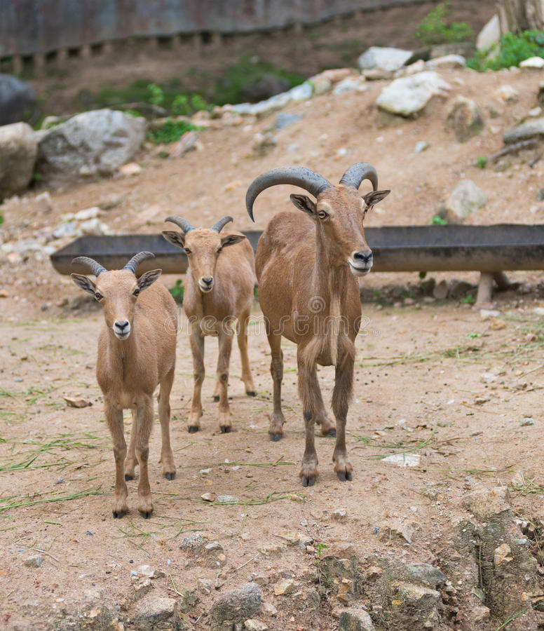 Barbary sheep, Ammotragus lervia. A Barbary sheep with its two lambs Ammotragus lervia stock image