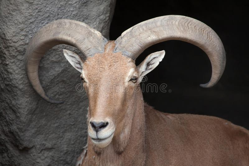 Barbary sheep Ammotragus lervia. Wild life animal stock photography