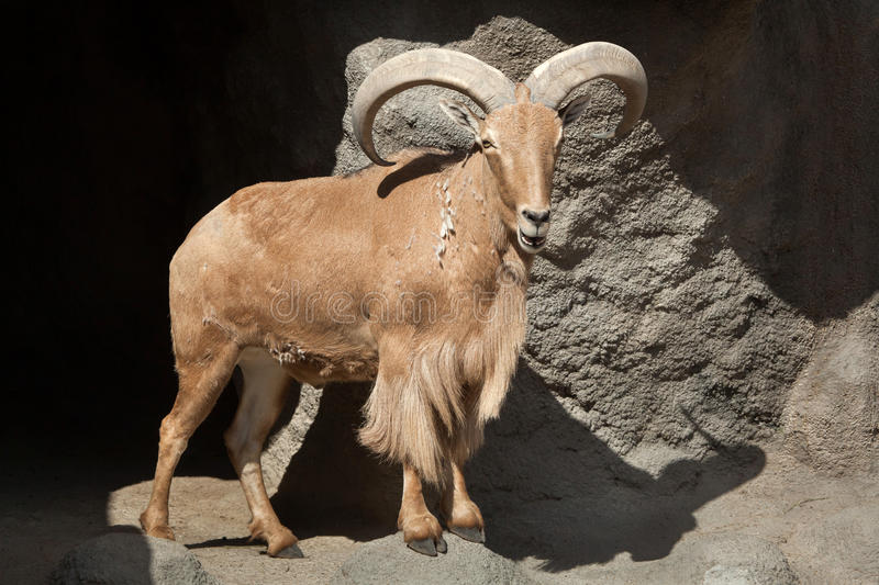 Barbary sheep & x28;Ammotragus lervia& x29;. Wild life animal royalty free stock photos
