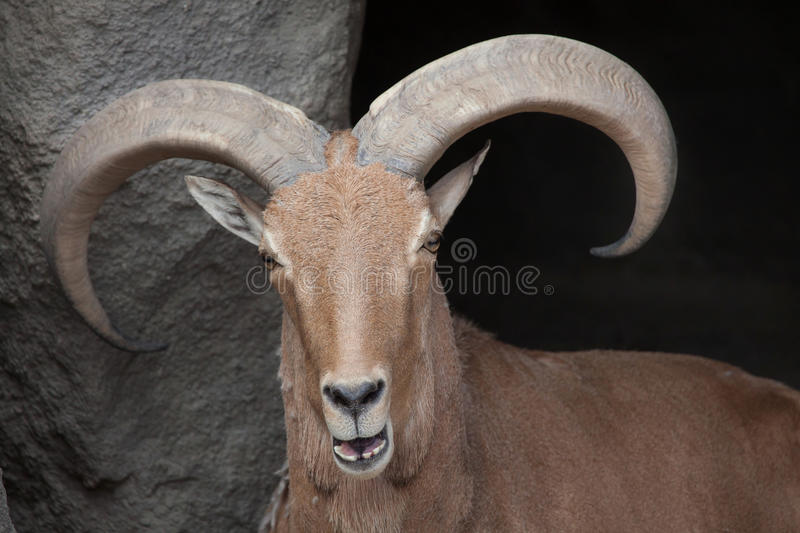 Barbary sheep Ammotragus lervia. Wild life animal stock image