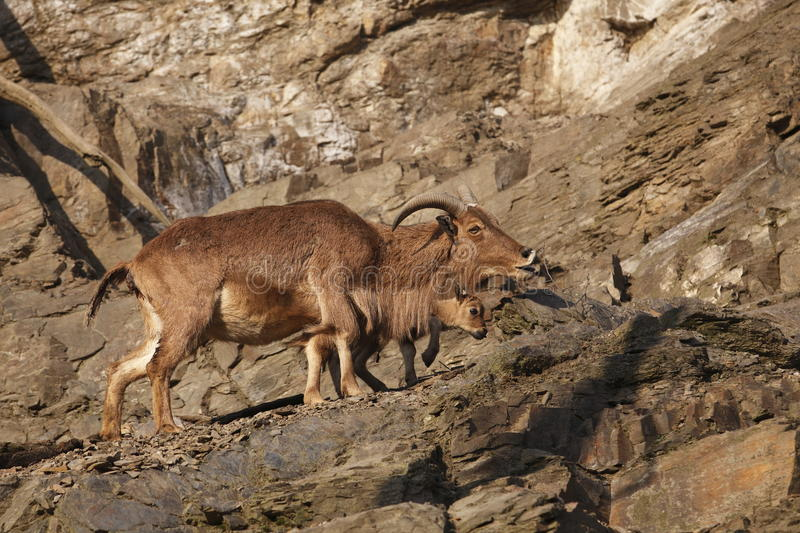 Barbary sheep with baby. The barbary sheep with its baby on the rock royalty free stock image