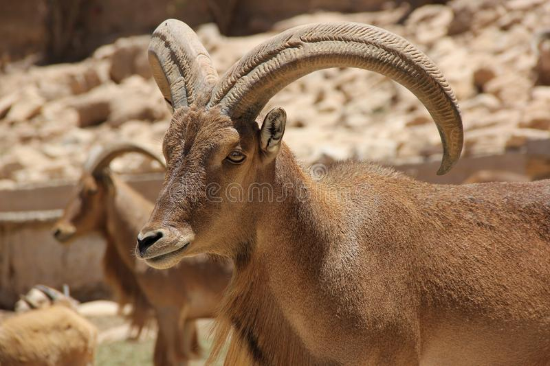 Barbary Sheep. A Barbary Sheep with big horns native to Morocco and other North African countries stock photography