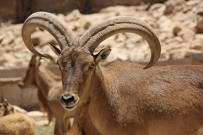 Barbary Sheep. A Barbary Sheep with big horns native to Morocco and other North African countries royalty free stock images