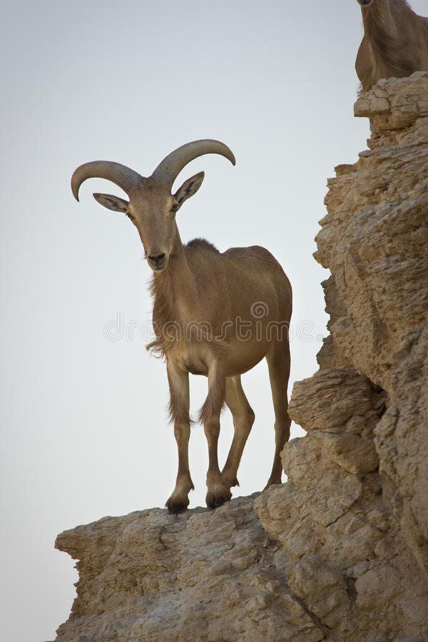 Barbary Sheep on cliff. Ammotragus lervia royalty free stock image